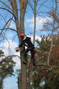 tree pruning trees pruned prune pruning tree service vilonia rosebud conway arkansas